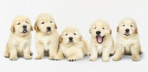 ゴールデンレトリバーの子犬が3万円?!